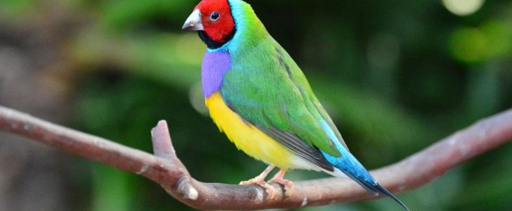 How to Take Care of Lady Gouldian Finches?