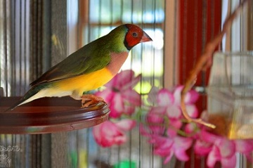 How to Be Successful With Lady Gouldian Finch Breeding?